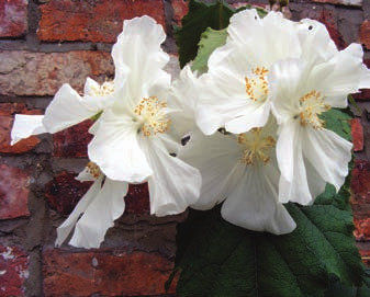 Image of Chilean Tree Mallow