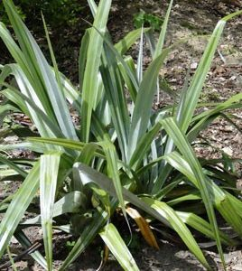 Image of Maori Flax