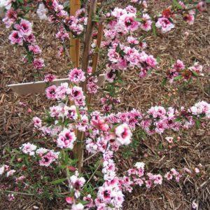 Image of Leptospermum scoparium