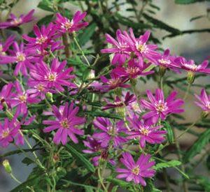 Image of Olearia solandri